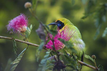 powder puff: Chloropsis aurifrons,  leafbird on a powder puff tree, Nepal