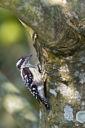 dendrocopos: Dendrocopos nanus, Brown capped pygmy woodpecker in Nepal Stock Photo
