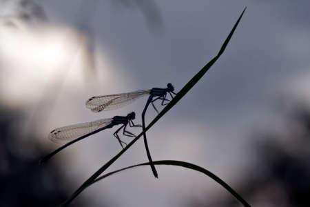bluet: Coenagrion puella, azure damselfly is twilight, France Stock Photo