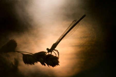 bluet: Coenagrion puella, dragonfly, Vosges, France