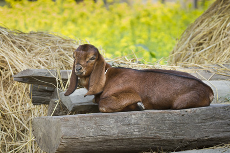 stock breeding: Anglo-Nubian goat domestic in typical farm Tharu, Bardia, Nepal Stock Photo