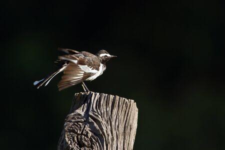 freshwater bird: Motacilla madaraspatensis,  white-browed wagtail or large pied wagtail Stock Photo
