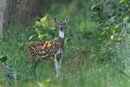 axis: Axis axis, ciervo manchado en el parque nacional de Bardia, Nepal