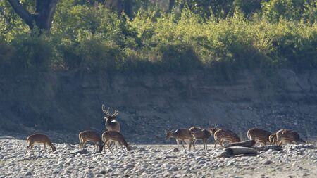 axis: Axis axis, manchado ciervos en el Parque Nacional de Bardia, Nepal