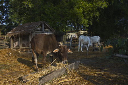 indian buffalo: Typical Tharu farm at Bardia, Nepal