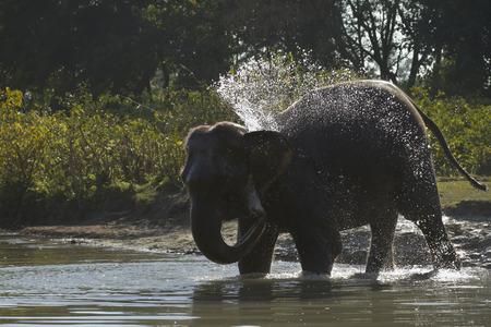 asian elephant HAVING bath in the river, Nepal Bardia Imagens