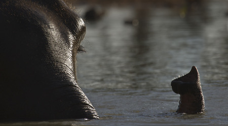 asian elephant full frame, Having bath in the river, Nepal Bardia