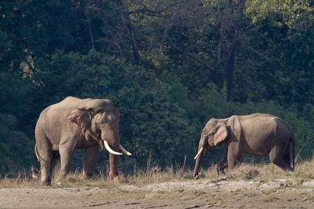 asian elephant: Elephas maximus,  asian elephant at Bardia National Park, Nepa