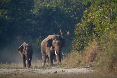 Elephas maximus, asian elephant at Bardia National Park, Nepa Reklamní fotografie - 35703782