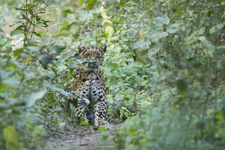pardus: Panthera pardus, common leopard hiding in the bush, at Bardia national park Stock Photo