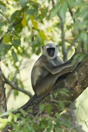 semnopithecus: Semnopithecus entellus, Hanuman Langur, Bardia, Nepal