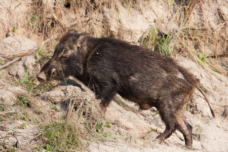sus: Sus scrofa, wild boar  in full frame, Bardia national park, Nepal Stock Photo