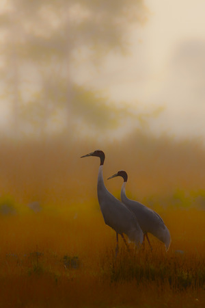 couple of sarus crane at Lumbini, Nepal