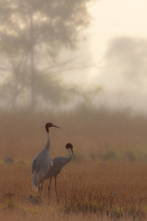 couple of sarus crane at Lumbini, Nepal Reklamní fotografie - 35707322