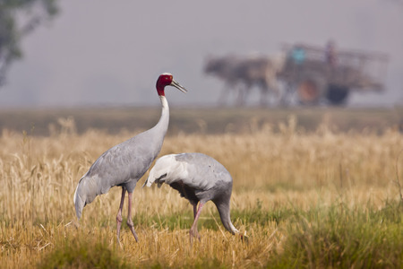 couple of sarus crane at Lumbini, Nepal Reklamní fotografie - 35707326