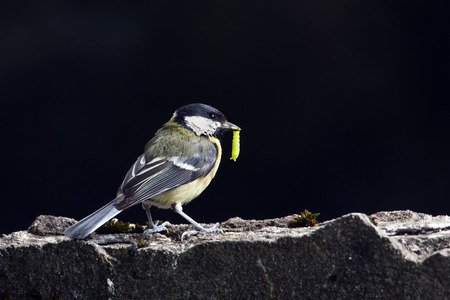 parus major: Parus major, great tit eating a worm, Vosges, France