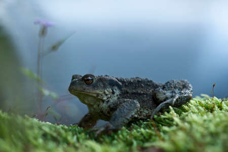 bufo bufo: Bufo bufo,  common toad, European toad, in Vosges, France