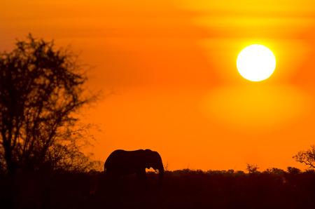 kruger: african elephant and sunset, Kruger, South Africa