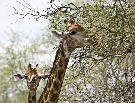 kruger national park: portrait of wild giraffes at Kruger national park, South Africa Stock Photo
