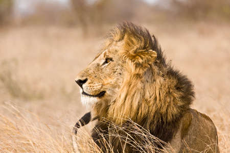 wild male lion lying down, Kruger National park, South Africa photo