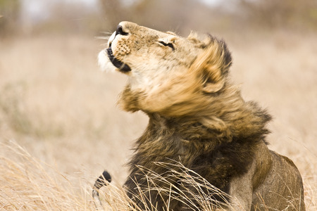 wild male lion preparing to shake himself, Kruger, South Africa photo