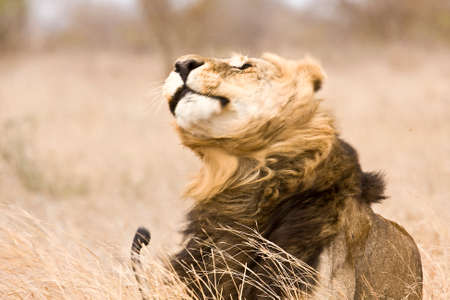 wild male lion shaking himself, Kruger, South Africa photo