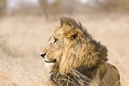 kruger national park: portrait of a male lion at Kruger national park, South Africa