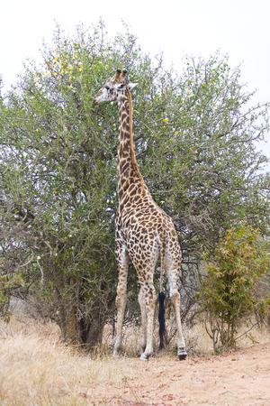kruger national park: giraffe eating flowers at Kruger National Park Stock Photo