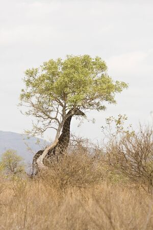 wild giraffe under a tree, Kruger, South Africa photo
