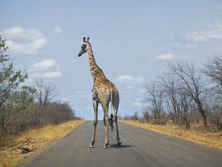 kruger national park: wild giraffe standing on the road, Kruger national park