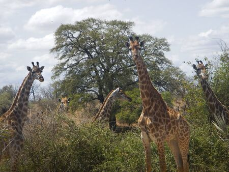 group of wild curious giraffes, Kruger, South Africa photo