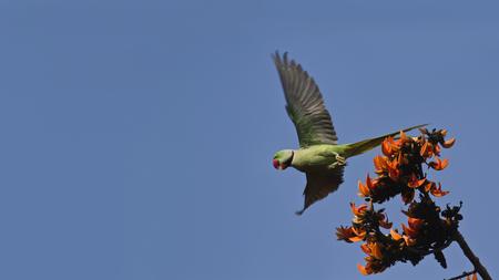 periquito: Psittacula eupatria perico Alexandrine volando por encima de-las flores, Bardia, Nepal