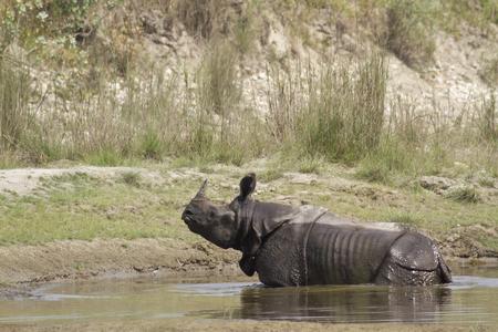 horned: Rhinoceros unicornis, greater one horned rhinoceros, Nepal