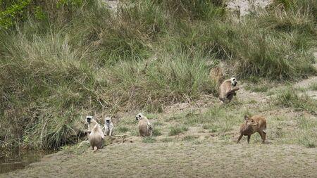 hanuman langur: Semnopithecus entellus and Axis porcinus, langur and hog deer