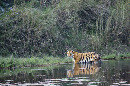 panthera tigris: Panthera tigris, Bengal tiger along the river, Bardia, Nepal