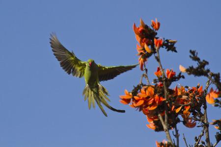 psittacidae: Psittacula krameri, rose-ringed parakeet, Bardia, Nepal