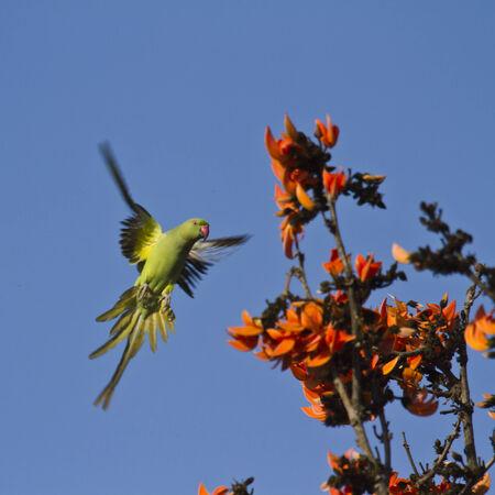 periquito: Perico Psittacula krameri, Rose-anillado, Bardia, Nepal