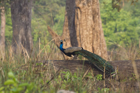 indian peafowl: Pavo cristatus, indian peafowl standing on a trunk, Bardia, Nepal