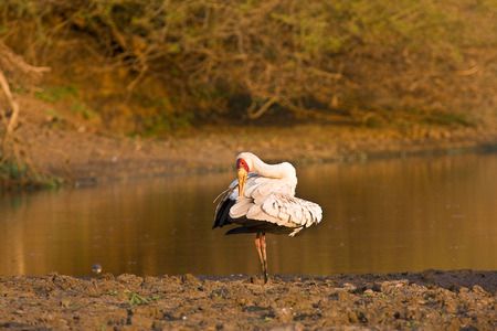 billed: yellow billed stork in the riverbank, Kruger, South Africa
