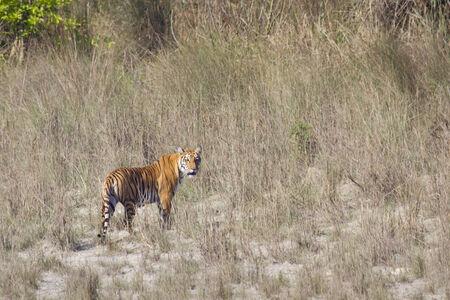 panthera tigris: Panthera tigris, tigre de Bengala por el r�o, Bardia, Nepal Foto de archivo