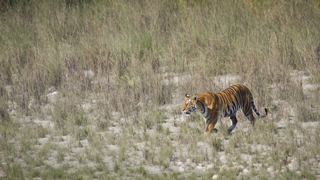 bengal tiger: Panthera tigris, Bengal tiger walking in the grass at Bardia, Nepal Stock Photo