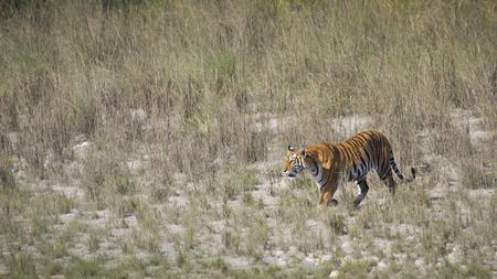 panthera tigris: Panthera tigris, tigre de Bengala que camina en la hierba en Bardia, Nepal Foto de archivo