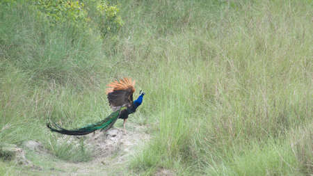 common peafowl: Pavo cristatus, indian peafowl standing on a trunk, Bardia, Nepal
