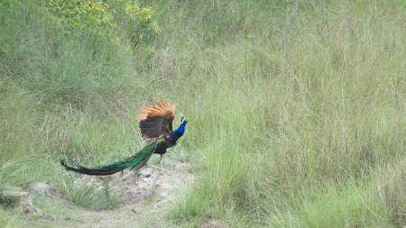 peafowl: Pavo cristatus, indian peafowl standing on a trunk, Bardia, Nepal