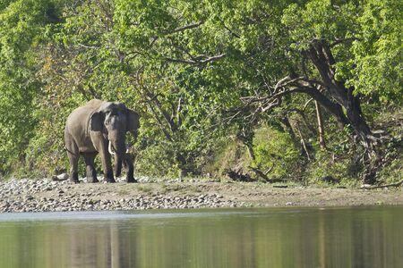 subcontinent: Elephas maximus, asian wild elephant walking along the river, Bardia, Nepal