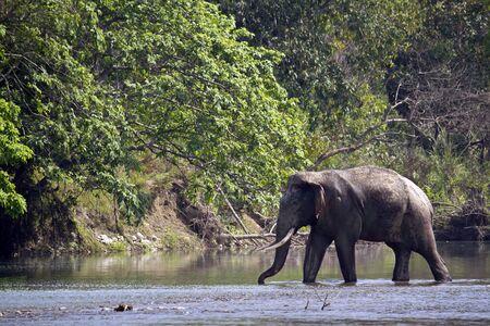 subcontinent: Elephas maximus, asian wild elephant crossing the river, Bardia, Nepal Stock Photo