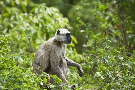 hanuman langur: Semnopithecus entellus, Hanuman Langur, Bardia, Nepal
