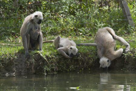 hanuman langur: Semnopithecus entellus, Hanuman Langur drinking water, Bardia, Nepal Stock Photo