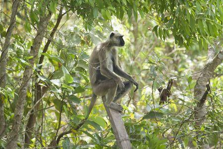 subcontinent: Semnopithecus entellus, Hanuman langur perched on a tree, Bardia, Nepal Stock Photo