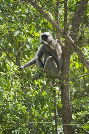 hanuman langur: Semnopithecus entellus, Hanuman langur perched on a tree, Bardia, Nepal Stock Photo